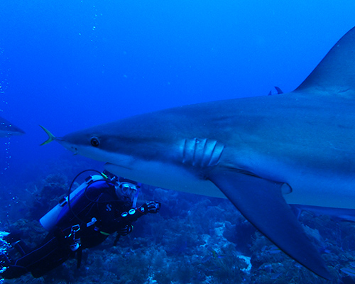 Roatan Jim Shark